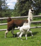 cocobon and cria